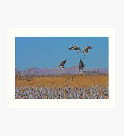 Sandhill Cranes Art Print