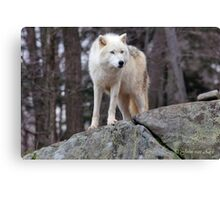 Arctic wolf on hunt  Canvas Print