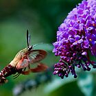 Snowberry Clearwing Hummingbird Moth by Russell Fry