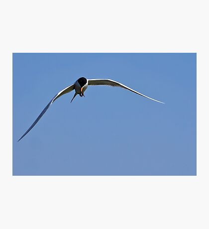 Tern at Bolsa Chica Photographic Print