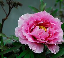 Peony in Ueno Park Tokyo by lailak