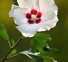 Rose of Sharon Flower by Christina Rollo