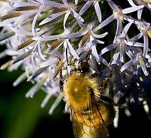 Honeybee At Work by jenndes