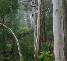 mountain grey gum by Donovan wilson