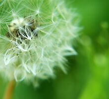 Dandelion by PPDesigns