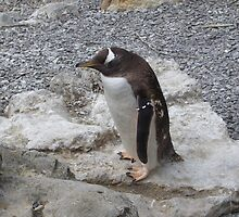 penguin on the rocks by MJjunkie86