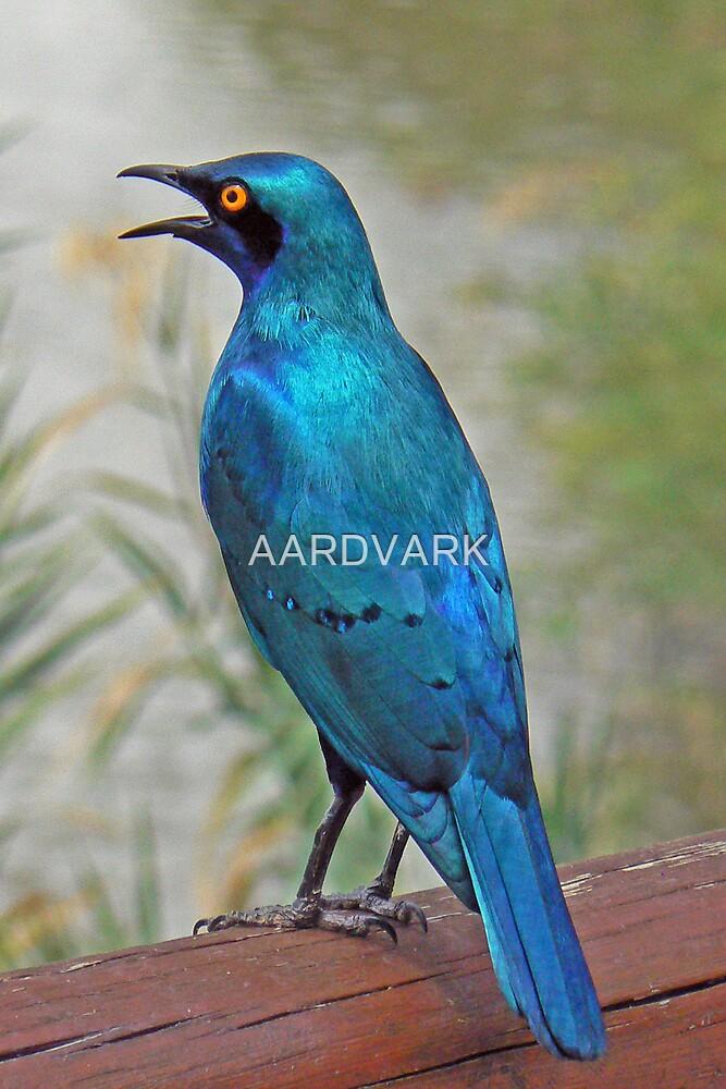 Glossy Starling  (III) by AARDVARK