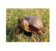 Eastern Box Turtle (Terrapene carolina carolina) XT0003823 Art Print