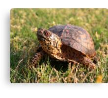 Eastern Box Turtle (Terrapene carolina carolina) XT0003823 Canvas Print