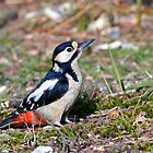 Great Spotted Woodpecker by Alan Forder