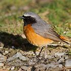 Redstart by Alan Forder