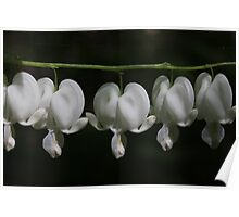 White Bleeding Hearts Poster