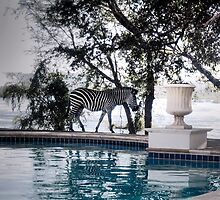 Zebra Crossing by Cathryn Swanson