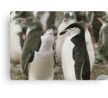 Chinstrap Penguin Courtship Canvas Print