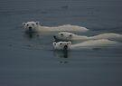 Polar Bear Swim    by Steve Bulford
