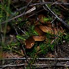 Brown Tree Snake by Nic Relton