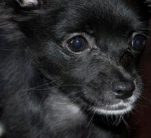 Black Chihuahua  Sticker