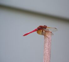 Red Dragon Fly by roxiedog