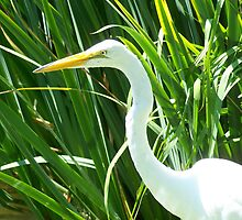 "Great White Egret by Lenora ""Slinky"" Regan"