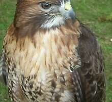 Caerphilly's Falcons by Dawn B Davies-McIninch