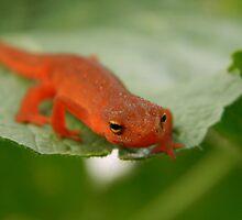 Orange Newt Salamander Photo by leastWeasel