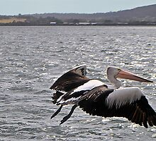 PELICAN IN FLIGHT by Margaret Stevens
