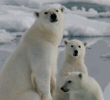 Polar Bear Family by Steve Bulford