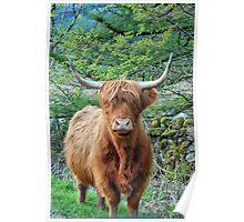 Hielan Coo, Lochgoilhead Poster