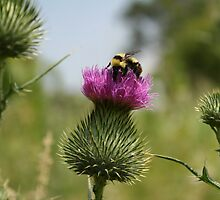Bumble Bee on a Thistle by alina98