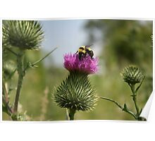 Bumble Bee on a Thistle Poster