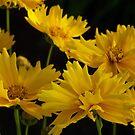 Coreopsis Grandiflora by James Brotherton