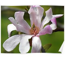 Soft Pink Magnolia Poster