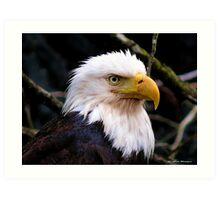 Portrait Of An Eagle III  Art Print