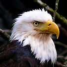 Portrait Of An Eagle III  by Gail Bridger