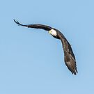 American Bald Eagle 2015-10 by Thomas Young