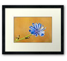 blue flower of common chicory Framed Print