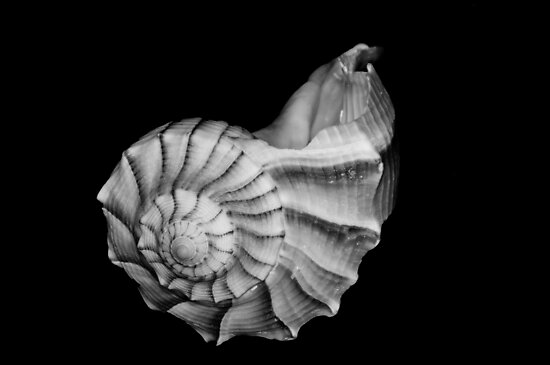 Seashell in Black and White by Bonnie T.  Barry
