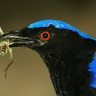 Asian Fairy Bluebird by Lisa G. Putman