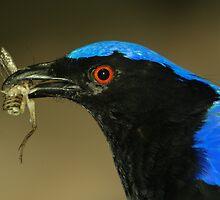 Asian Fairy Bluebird by Lisa G. Putman