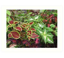 Coleus plants Art Print