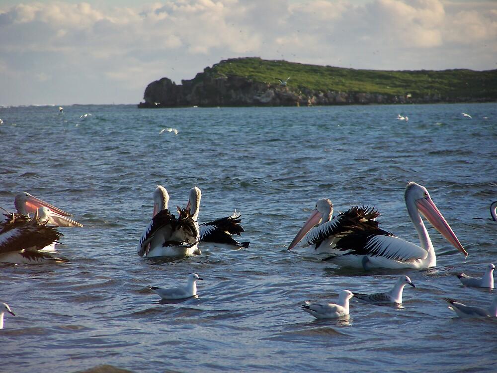 Pelican`s by Daniel Rayfield