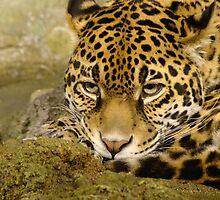 Jaguar series by dmwarnman