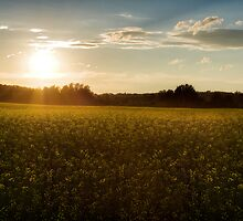 Sunset on a canola field by Gino Caron