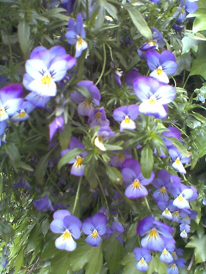Pansies by christinawalker