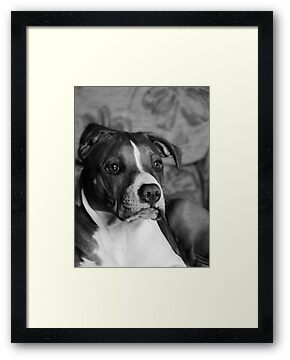 Staffordshire Bull Terrier by Christopher Mitchell
