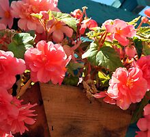 Begonia Ambrosia by Lorrie Morrison