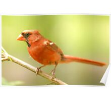 Male Cardinal Poster