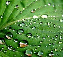 Hosta Leaf. BRISTOL, ENGLAND by kojobar