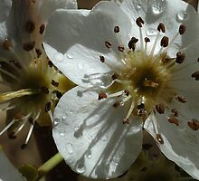 Pear Blossoms 01 by Karl Eschenbach