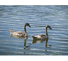 teenage swans Photographic Print